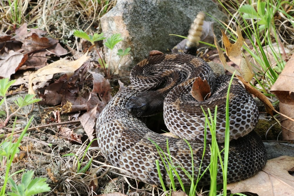 Timber Rattlesnake - On a different day, I would find a snake nearby the above photo.