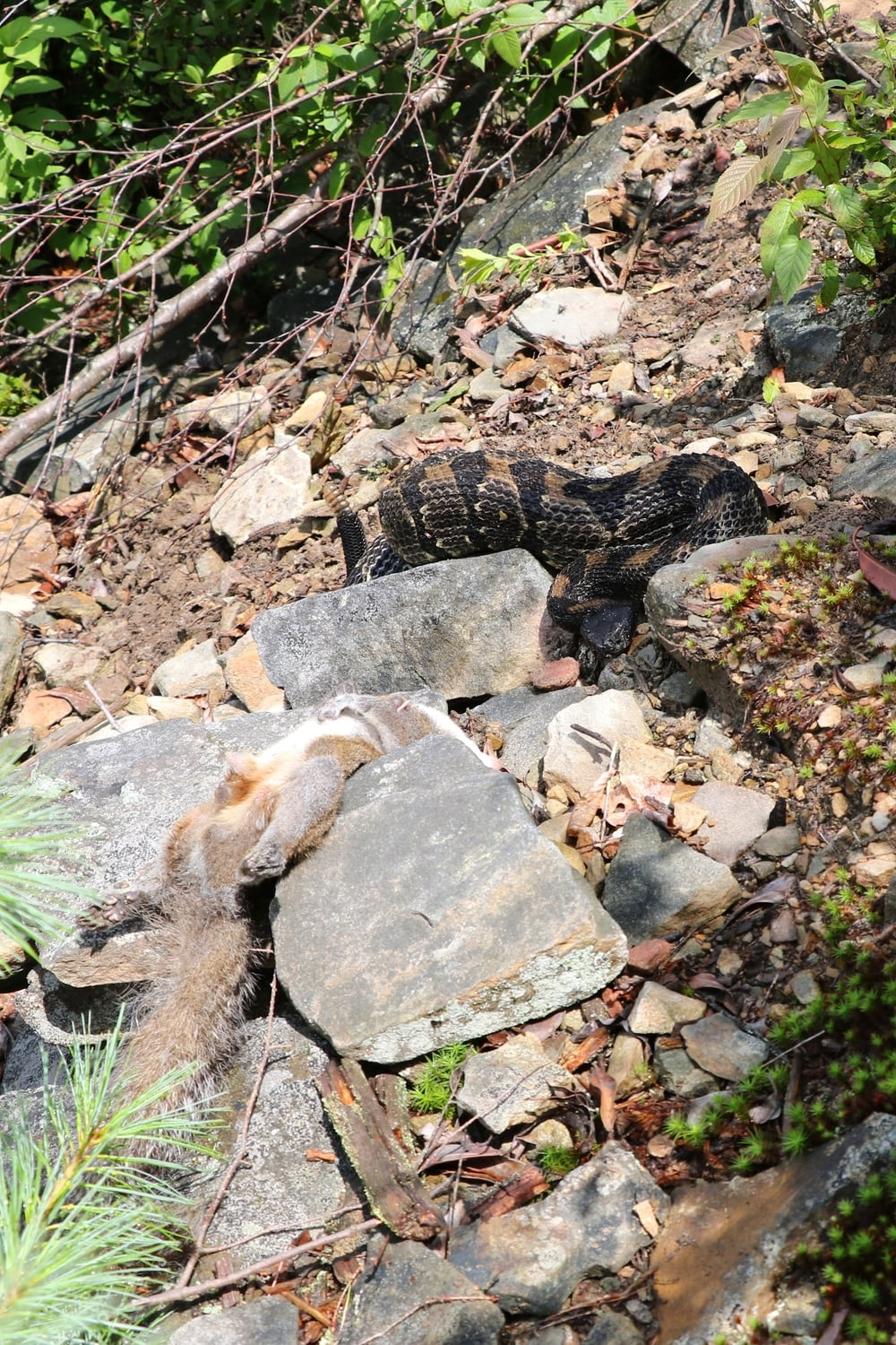 Timber Rattlesnake - With a meal that it had no interest in... at least while we were watching.