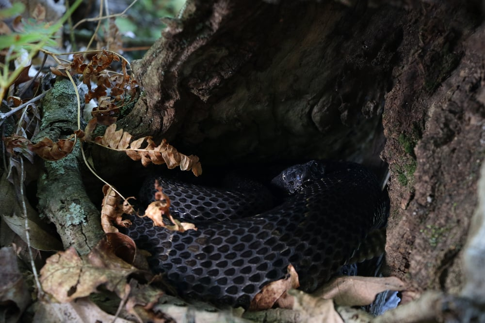 Timber Rattlesnake - Back into the Poconos, we had this timber curled up snug in a hollowed out tree stump.