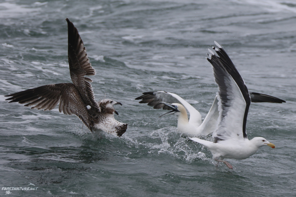 Northern Gannet and Great Black-backed Gulls