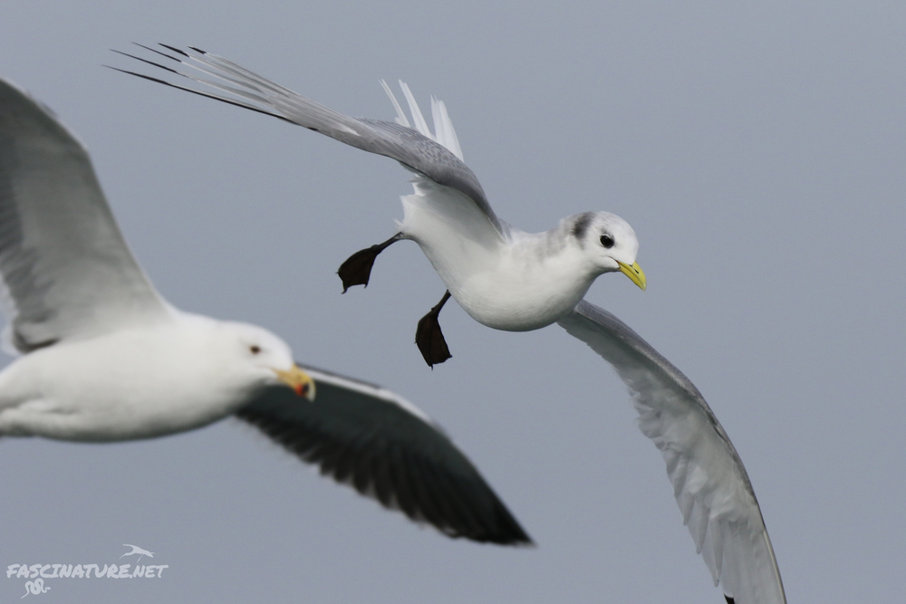 Black-legged Kittiwake and Great Black-backed Gull photobomb