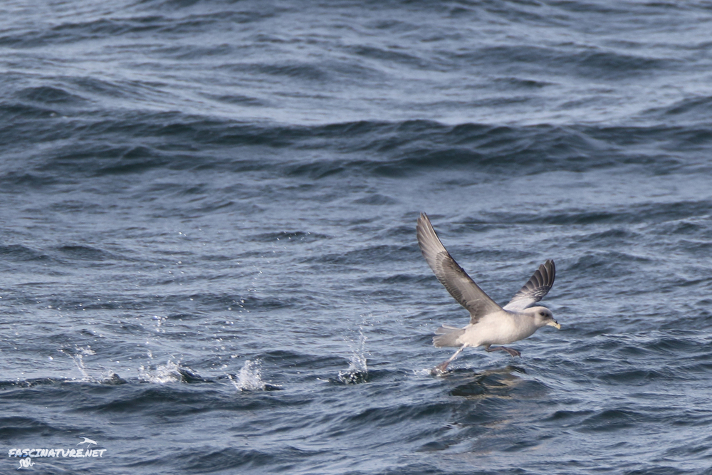Northern Fulmar take-off
