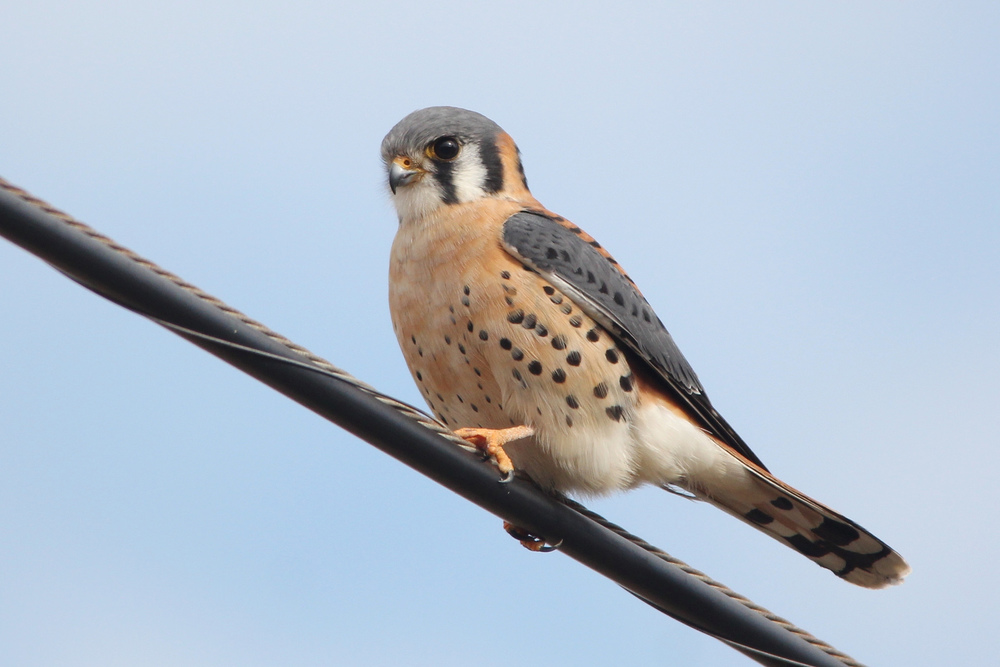 """Normal"" American Kestrel"