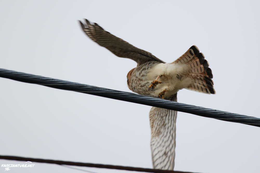 ...this is the way kestrels usually act whenever you even glance their way.