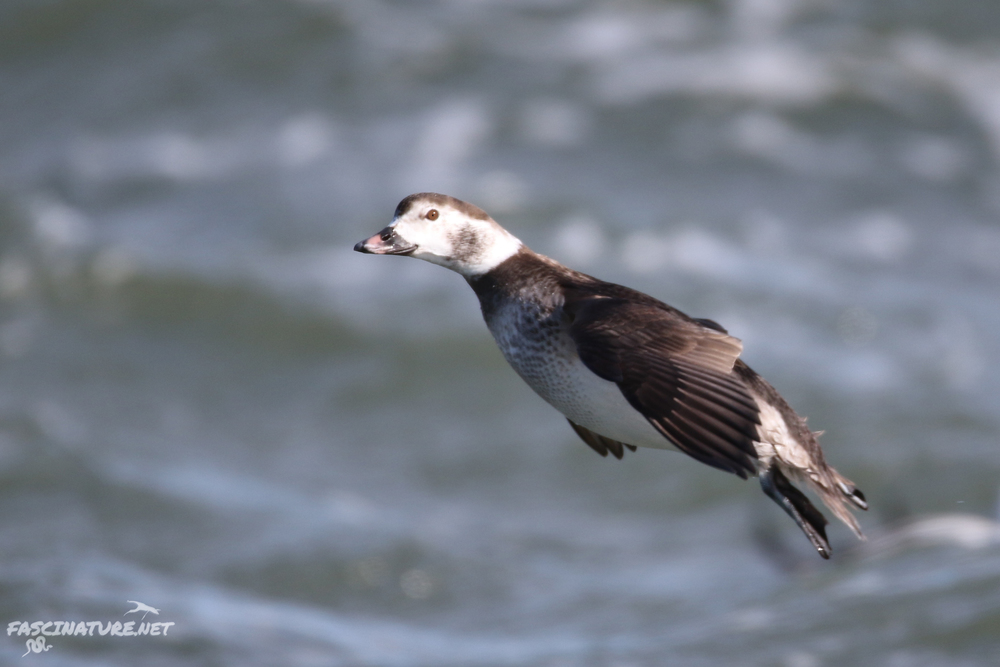 fascLong-tailed Duck (8).jpg