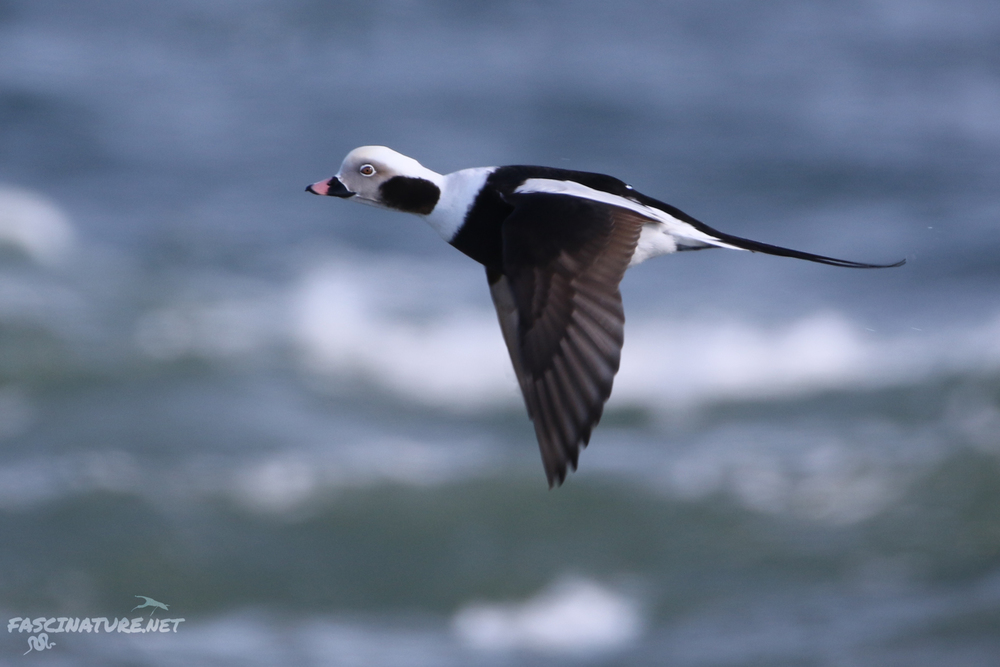 fascLong-tailed Duck (10).jpg