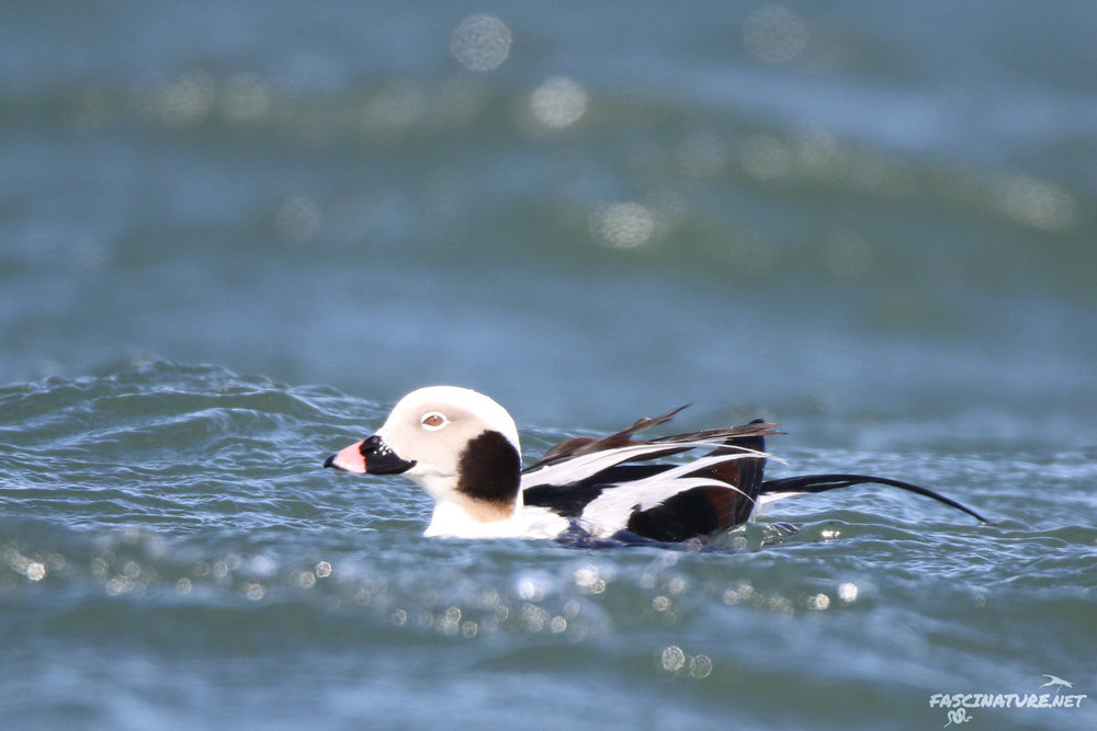 fascLong-tailed Duck (13).jpg