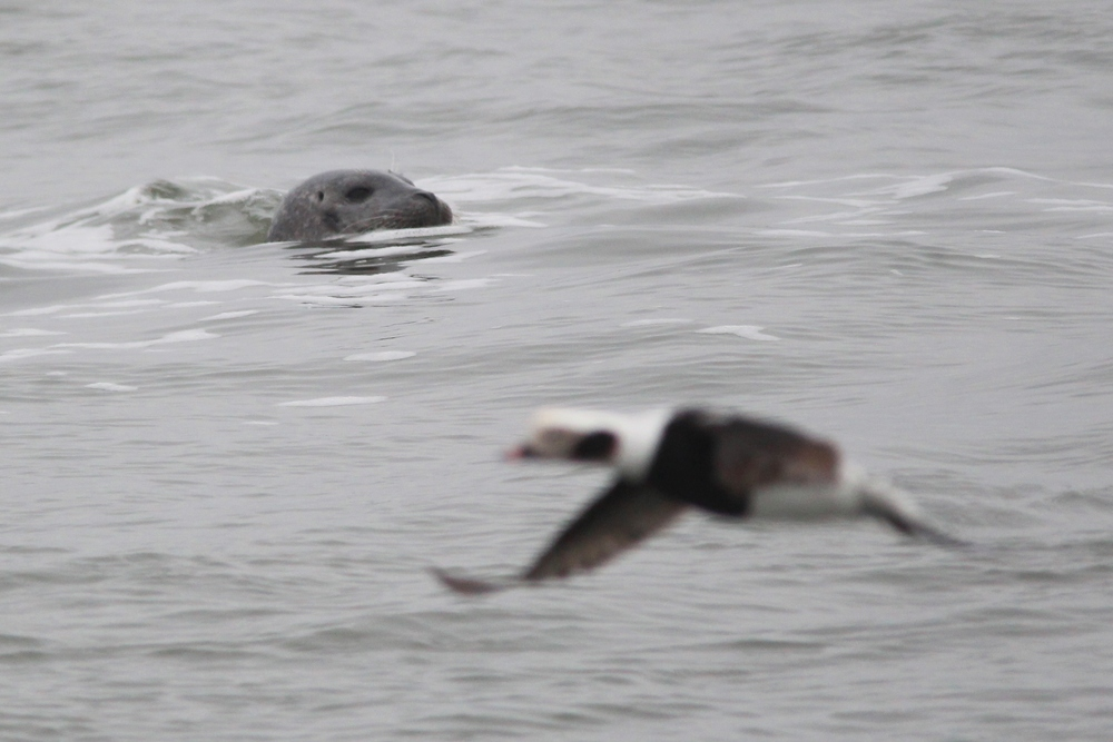 Harbor Seal with Oldsquaw (Long-tailed Duck) photobomb