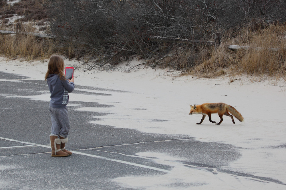 Lily with a fox, taking a picture with her tablet as it trotted by her.  Photo credit:  Lawrence Pugliares