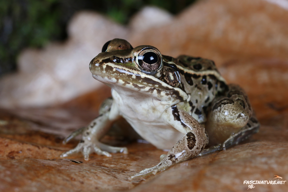 Southern Leopard Frog - New Castle, DE