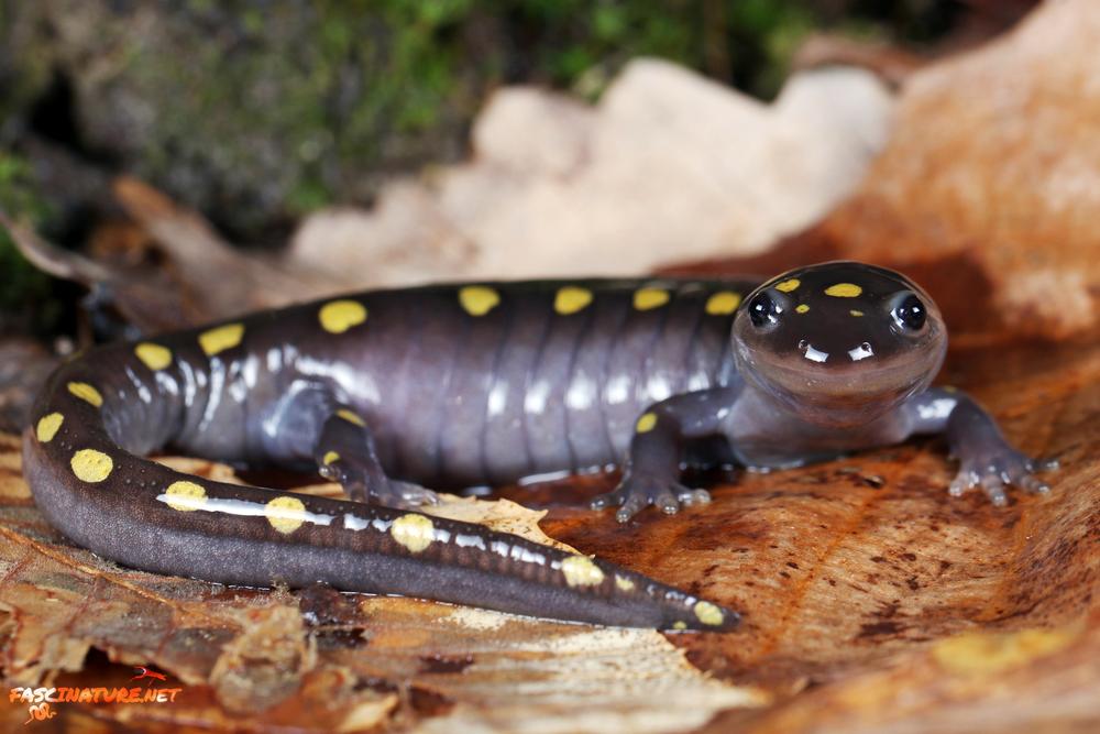 Spotted Salamander - Kent, MD