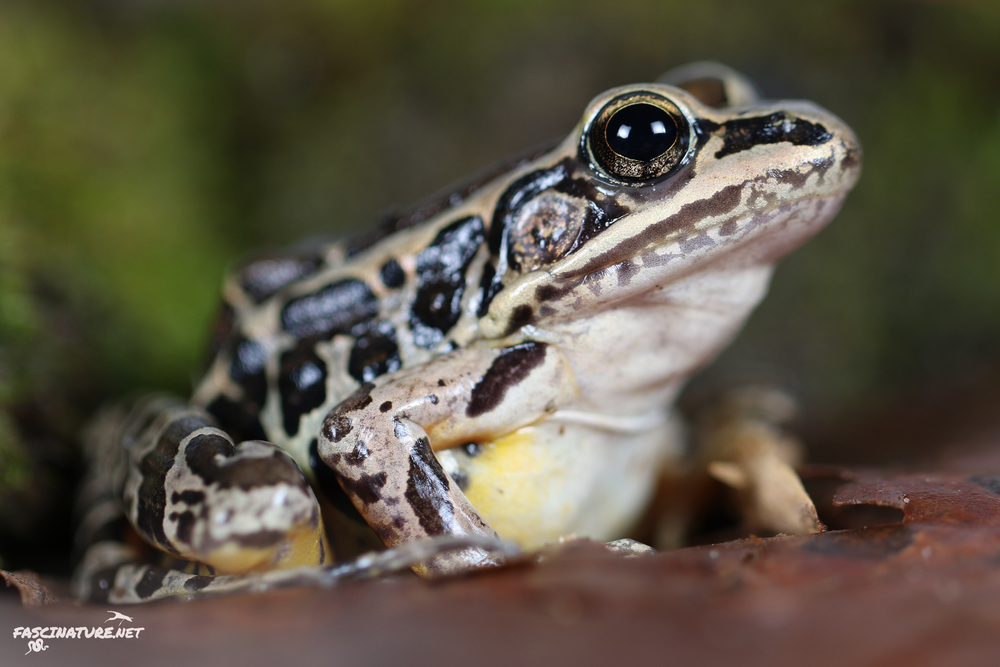 Pickerel Frog - New Castle, DE