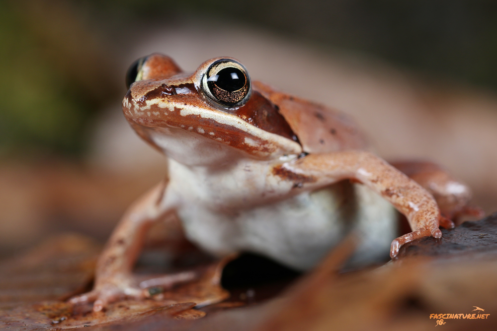Wood Frog - New Castle, DE