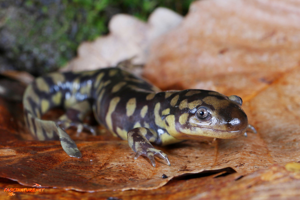 Eastern Tiger Salamander - Kent, MD