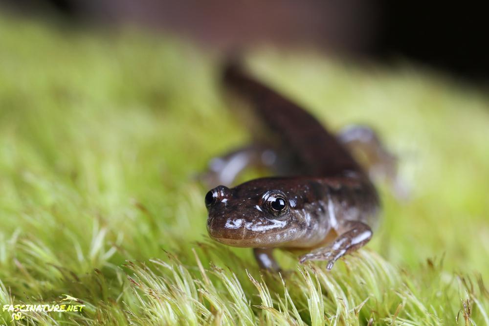 Northern Dusky Salamander - Lancaster, PA