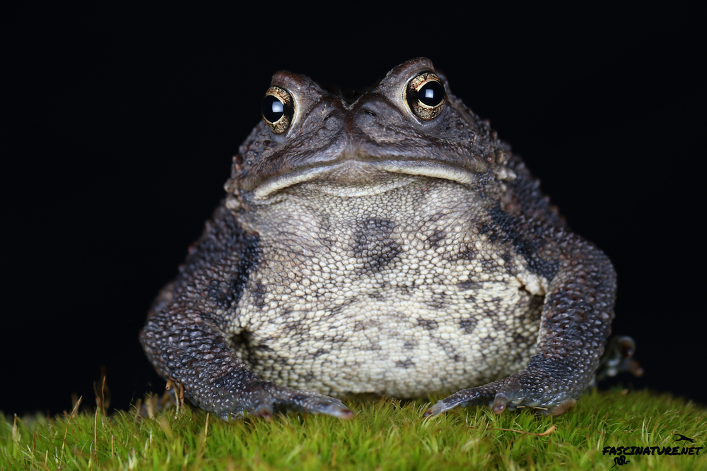 American Toad - Lebanon, PA