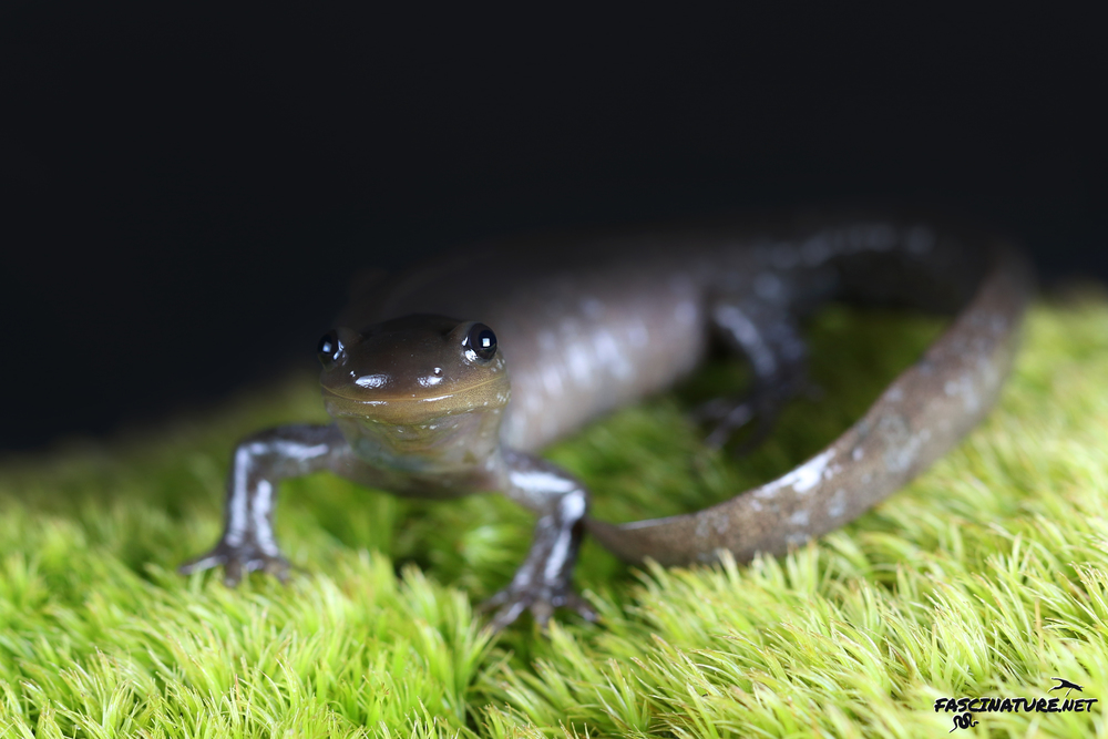 Jefferson Salamander - Lebanon County, PA
