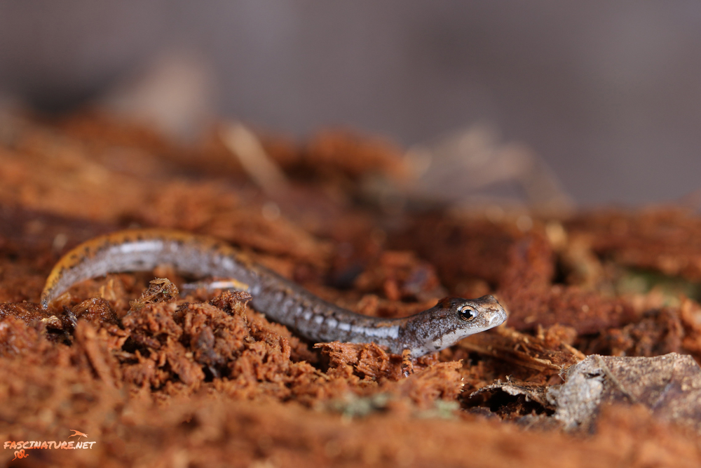 Four-toed Salamander - Chester County, PA