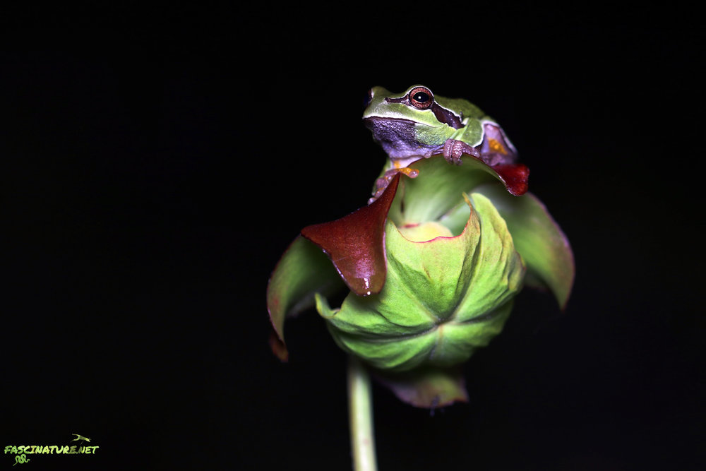 Featured in the Frogs of the East