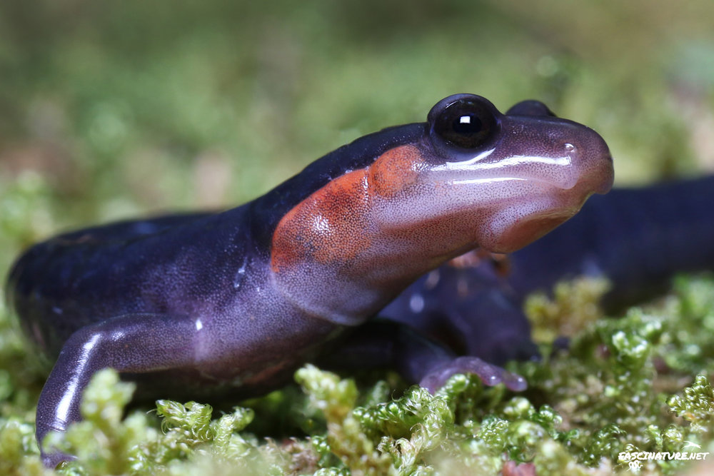 Featured in Salamanders of the East
