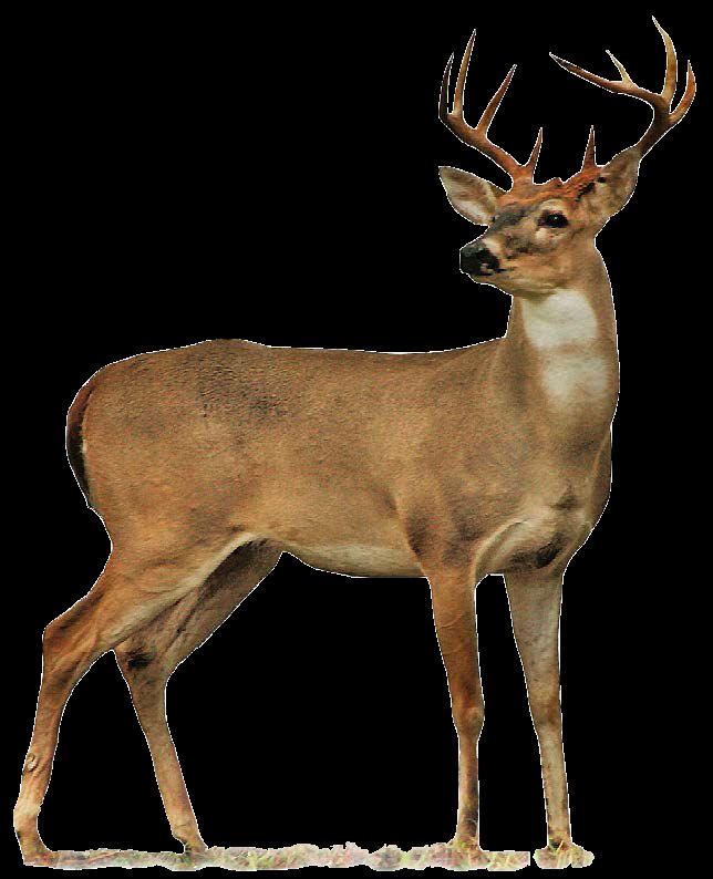 Image of Deer (CC0)