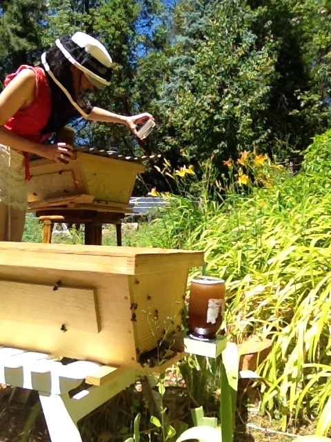 Feeding bees in a top bar apiary.  Some of these hives have been for sale in the past and may be again in 2016.   Contact me  for details.
