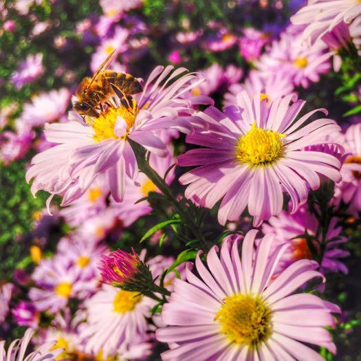 AriellaDaly_pollinating