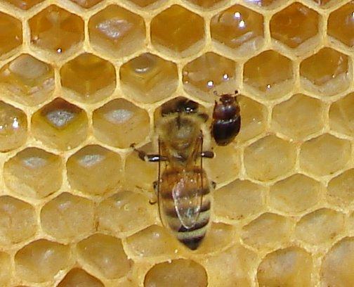 SHB: Small Hive Beetle
