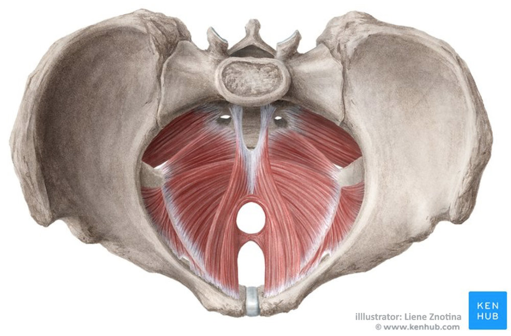 How to strengthen pelvic floor   - Female deep pelvic floor layer - Top view - Used with permission from ©Kenhub.com