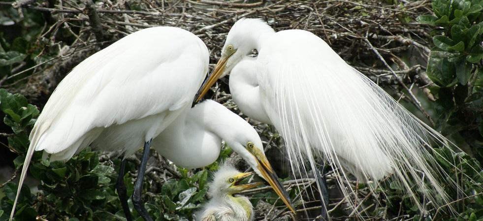 Ardea_alba_-St_Augustine_Alligator_Farm_Zoological_Park,_USA_-nest-8.jpg