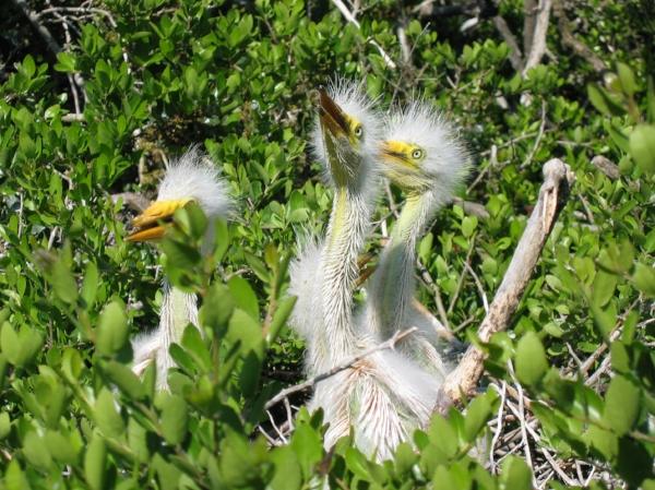 Great Egret chicks on Monkey Island