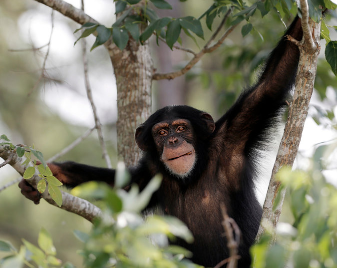 A retired chimpanzee at the Chimp Haven sanctuary in Keithville, La. Credit: Brandon Wade/The Humane Society of the US and Chimp Haven, via Associated Press