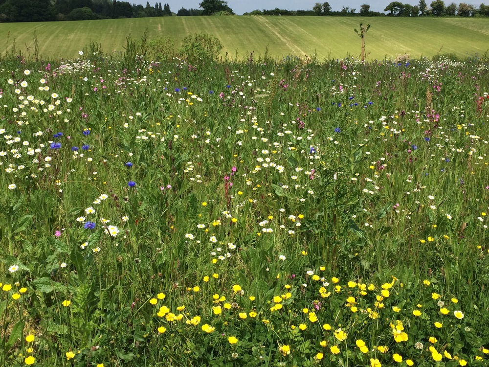 A host of Cornfield annuals- Cornflower, meadow buttercup, oxeye Daisy and more make up our wildflower mixes.