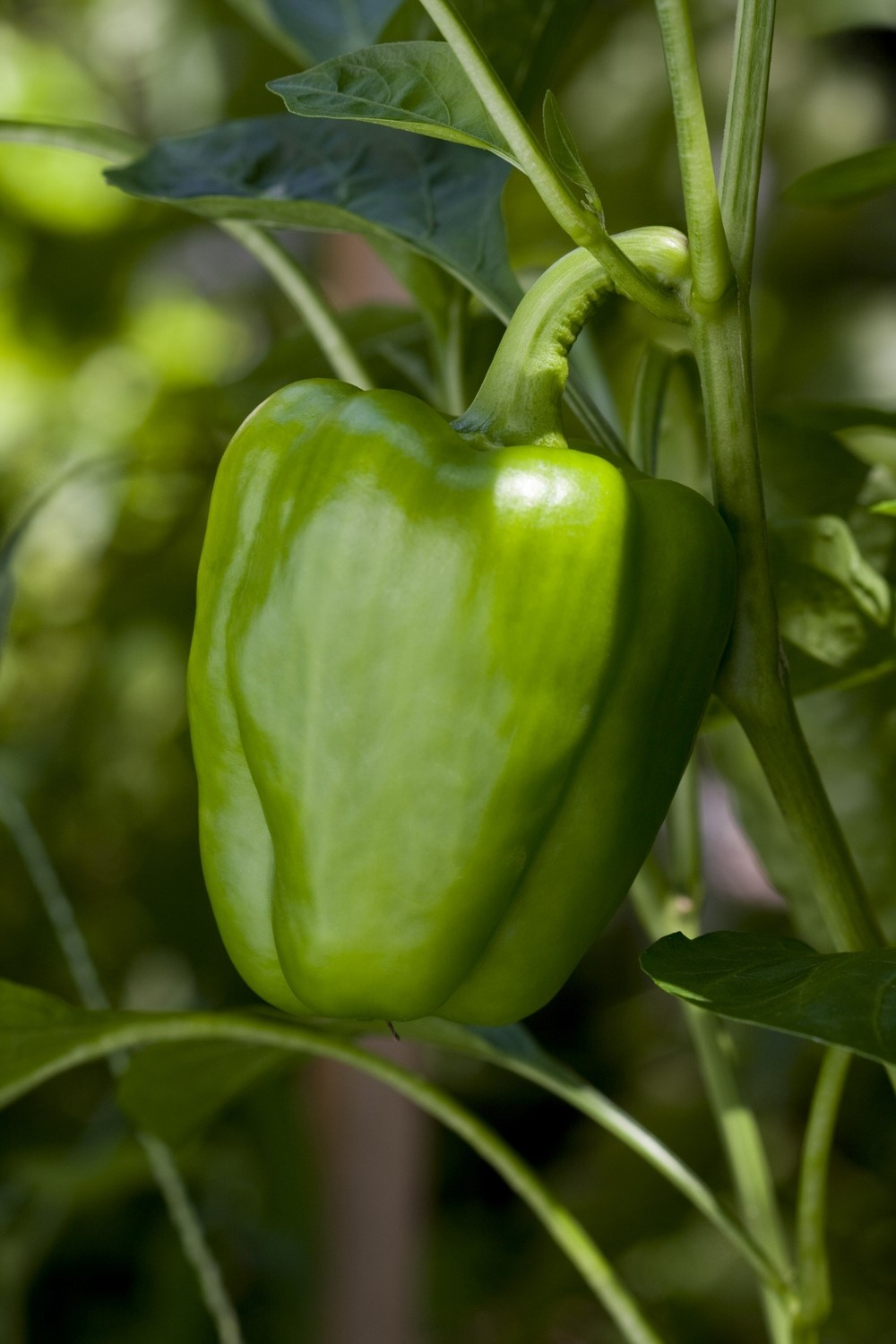 Green Bell Pepper 2.jpg