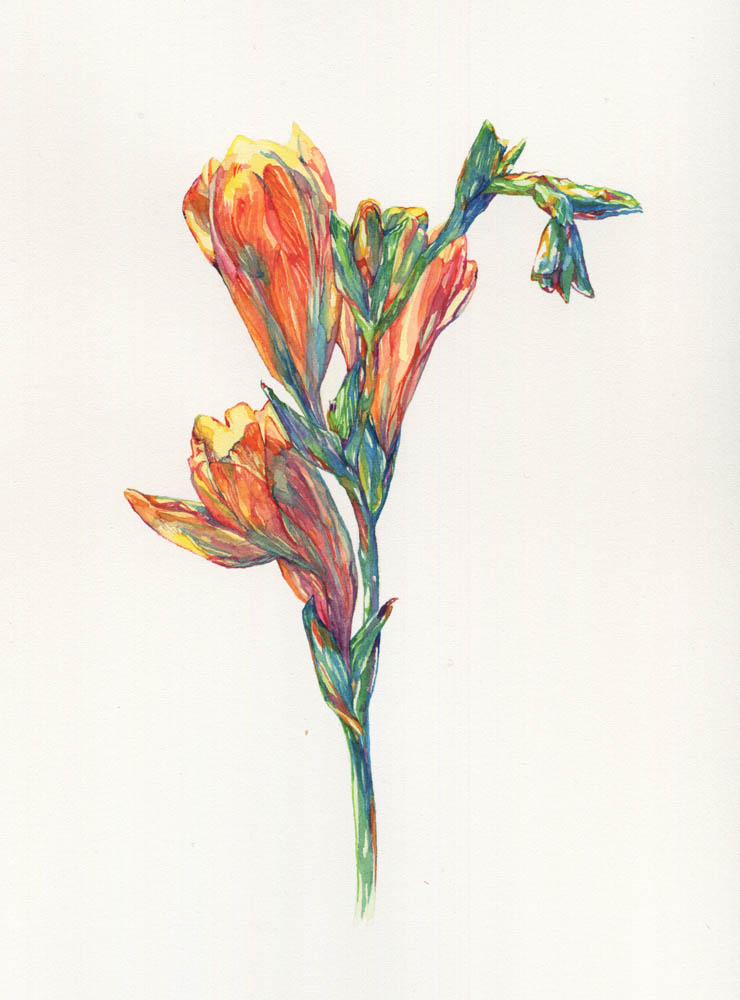 Freesia, 2016. SOLD