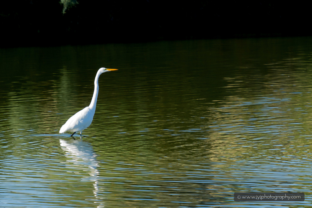 Great Egret spotted!
