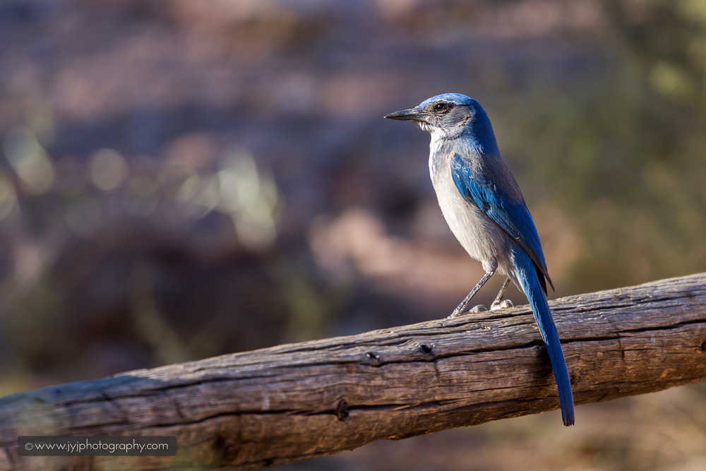 Mountain Bluebird Spotted!