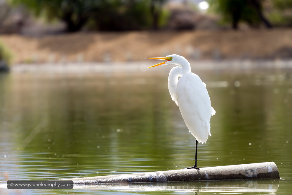Great Egret Calling