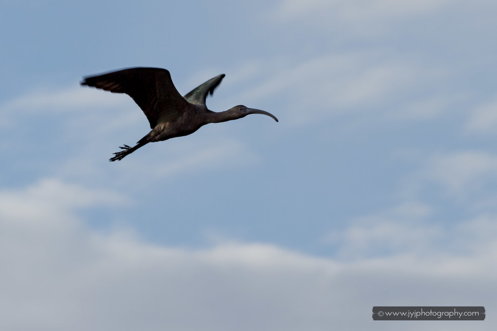 Juvenile White-faced Ibis