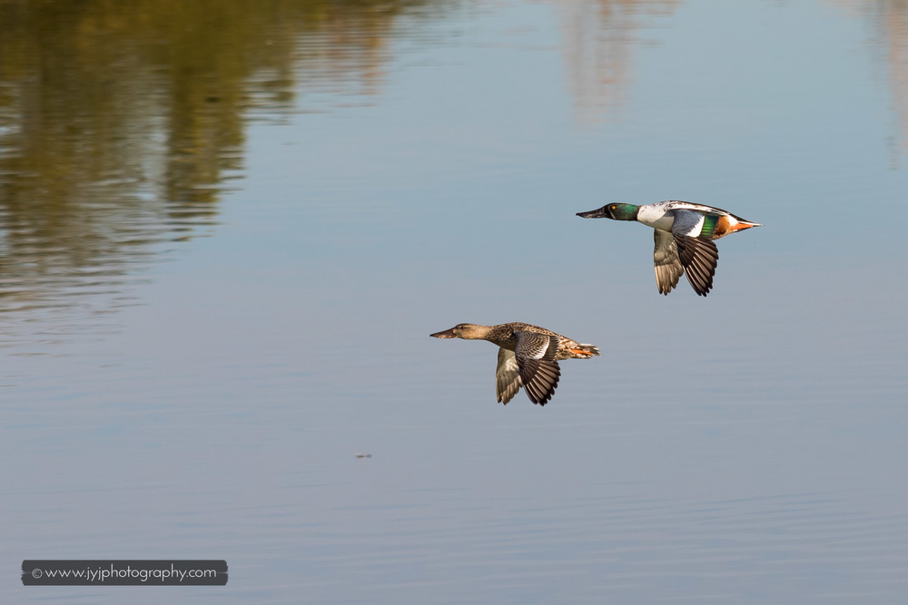 Northern Shoveler Couple (Left-Female, Right-Male)