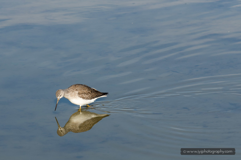 Greater Yellowleg