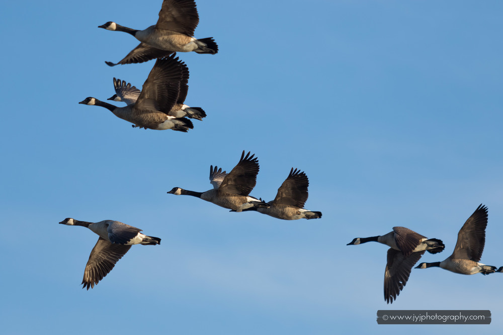 Canadian geese migration to North