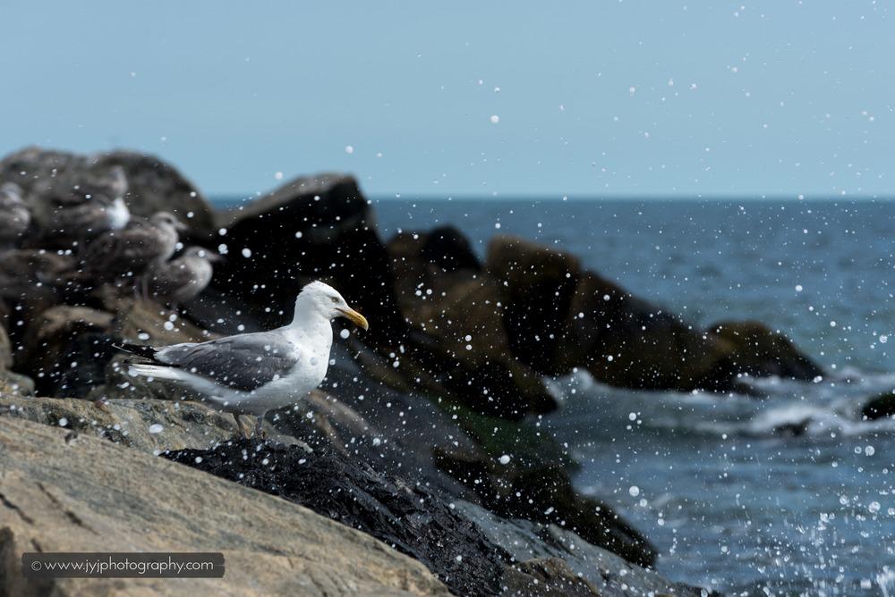 Seagull, New York