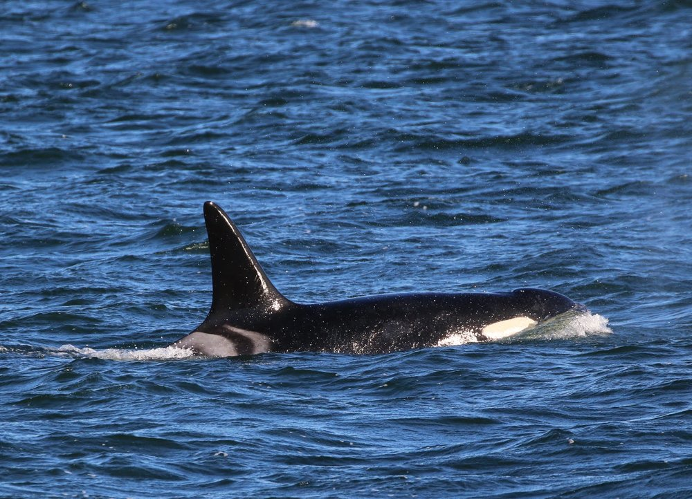 "Photo source:    Island Adventures. An orca from the ""J Pod."" The J-Pod has nothing to do with the iPod, but refers to a certain clan of 23 orcas centered around a matriarch. The J, K, and L Pods all swim in the    Salish Sea   ."