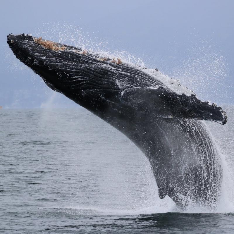 humpback whale breaching.jpg