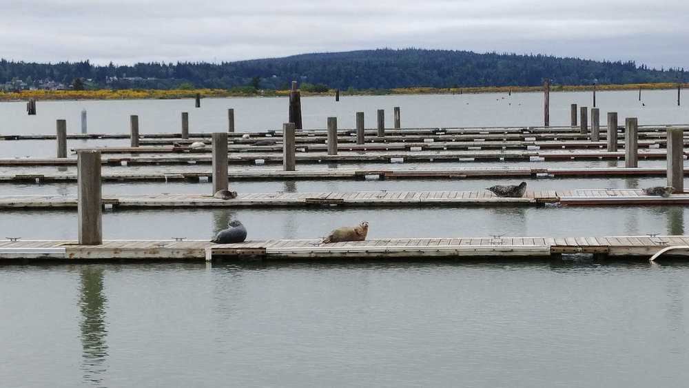 Seals taking up space at the boat launch seen from Marina Park // Christopher Bragg
