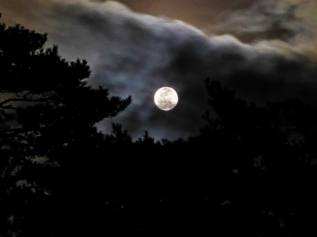 The moon over Japanese pine trees seen through the moving clouds