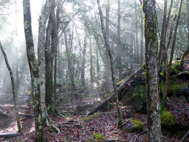 The morning sun beaming into Aokigahara in the morning mist