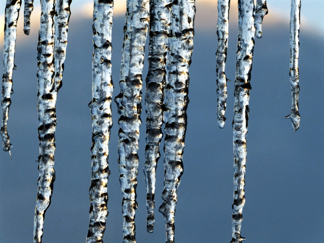 Melting uneven icicles reminiscent of white birch trees