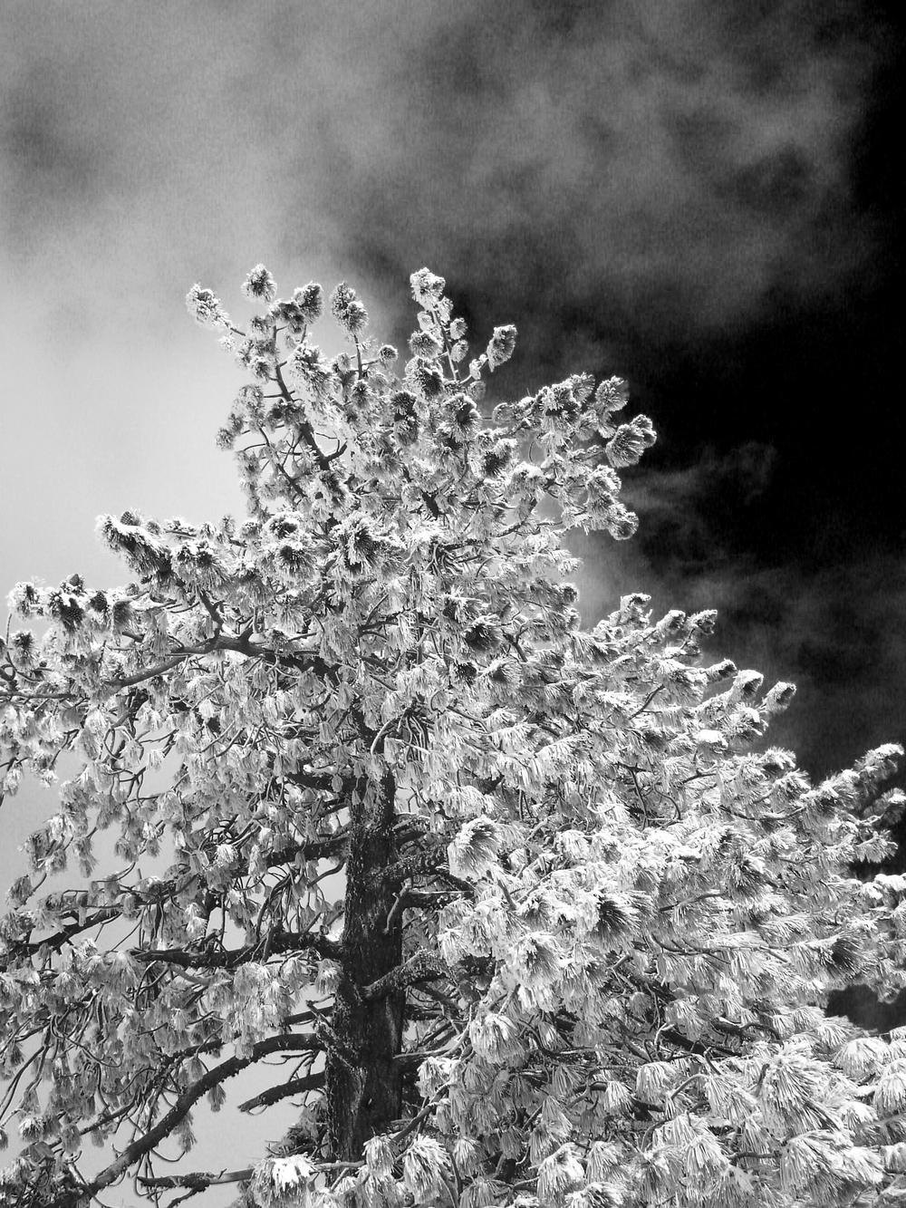 Rudy-Poe-34-Snow-Pine-1920.jpg